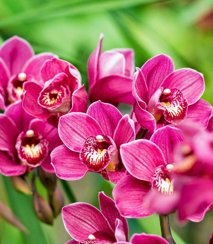 Schmetterlings Orchidee