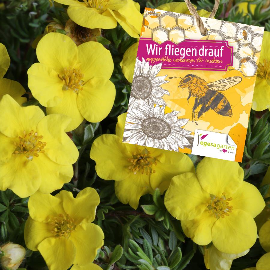 Fingerkraut (Potentilla Hybriden in Sorten)